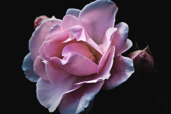 roses-flower-nature-garden-70851